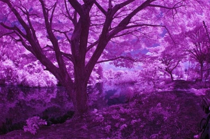 fronlahamm-purple_800_532